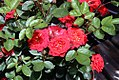 Rosa Autumn Sunblaze = Meiferjac 0zz.jpg