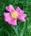 Rosa foliolosa.jpg