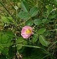 Rosa rubiginosa inflorescence (12) (cropped).jpg