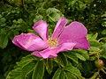 Rosa rugosa inflorescence (12).jpg