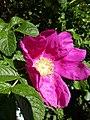 Rosa rugosa inflorescence (17).jpg