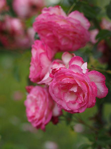 Harlekin rose