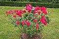 Rose Cassandre 20070601.jpg