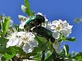 Rose Chafers (Cetonia aurata) mating (8343142892).jpg