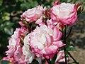 Rose Minuet メヌエット (4984922544).jpg