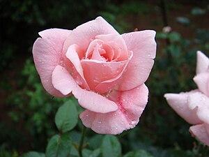 Rose മലയാളം: പനിനീര്പ്പൂവ്