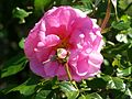 Rose im Botanischen Garten Erlangen (4).JPG