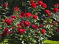 Roses in Wenceslas Square (4153912232).jpg
