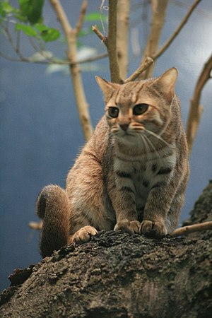 Rusty-spotted cat - Image: Rostkatze