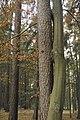 Rotbuche mit Waldkiefer verwachsen.JPG