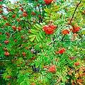 Rowan in the garden of Eastern Siberia.jpg