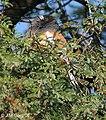 Rufous Treepie at Bharatpur I IMG 8586.jpg