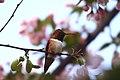 Rufus Hummingbird (8403217081).jpg