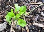 Ruhland, Grenzstr. 3, Duftveilchen im Garten, blau blühend, Frühling, 17.jpg