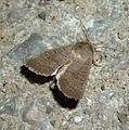 Rustic. Hoplodrina blanda - Flickr - gailhampshire (4).jpg