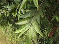 Sage-Leaved Alangium 09.JPG