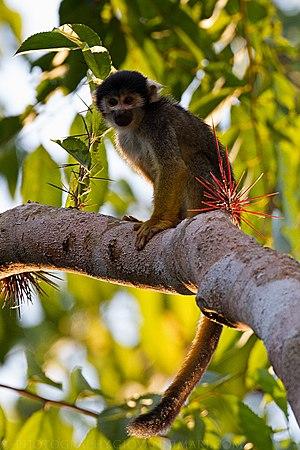 Purus várzea - The endemic black squirrel monkey (Saimiri vanzolinii)