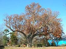 Un chêne à feuilles rouges sur fond de ciel bleu.