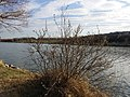Salix cinerea (s. str.) sl1.jpg