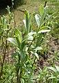 Salix lapponum kz21.jpg