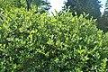Salix waldsteiniana kz03.jpg