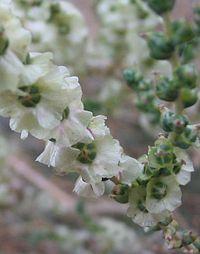 Salsola kali detalle de la flor