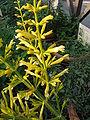 Salvia madrensis 'Yellow Majesty'2.jpg