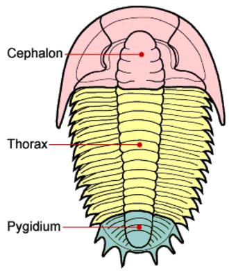 Pygidium - Diagram showing the location of the cephalon, thorax and pygidium of a trilobite.
