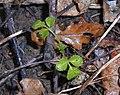 Sambucus nigra 2017-03-18 5953.jpg