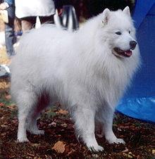 Dog Breed Alaskan