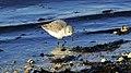 Sanderling (10838803033).jpg