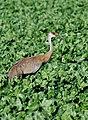 Sandhill crane in sugar beets (42833267402).jpg
