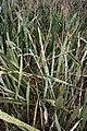 Sansevieria senegambica MS 3687.jpg
