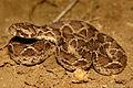 Saw-scaled viper Echis carinatus by Krishna Khan Amravati.jpg