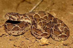 Saw-scaled viper Echis carinatus by Krishna Khan Amravati.jpg