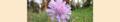 Scabiosa columbaria. Reader.png