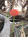 Scadoxus multiflorus 0025.jpg