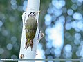 Scaly-bellied Woodpecker (Picus squamatus) (48414598061).jpg