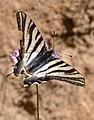 Scarce Swallowtail (7414286468).jpg