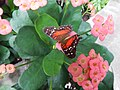 Scarlot Peacock butterfly on Crown of Thorns.jpg