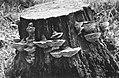 Schade, hogere planten, zwammen, daedalia guercina, Bestanddeelnr 194-1283.jpg