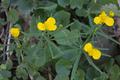 Schlitz Pford Fraurombach Breitecke NR 81455 Ranunculus acris.png