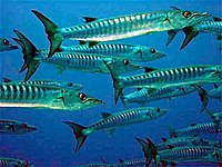 School of barracuda.JPG