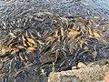 School of fishes at Mansar Lake Udhampur dr harleen kaur.jpg