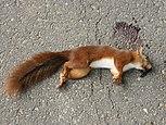 Sciurus vulgaris (roadkill).jpg