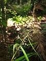 Scleria terrestris seedhead.jpg