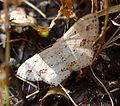 Scopula sp. ( pulchella^). Geometridae, Sterrhinae - Flickr - gailhampshire.jpg