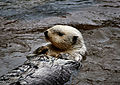 Sea Otter 2.jpg