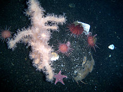 Sea urchins, soft coral, and seastars on the floor of McMurdo Sound (January 11 2005).jpg