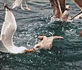 Seagulls fighting for food.jpg